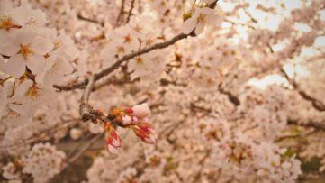 【桜】急げ!春日町民のココロ「黒井川の桜」