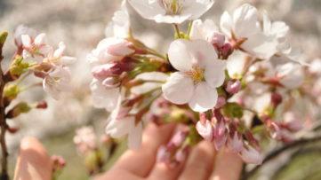 【篠山】桜のトンネル&夜桜スポット3選